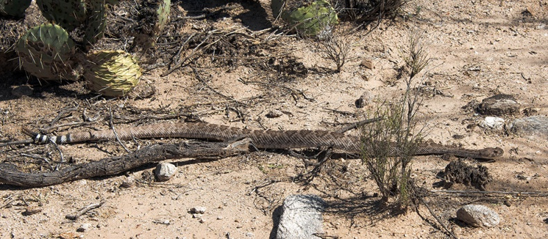 Rattlesnake  (1 of 1)-5 blog