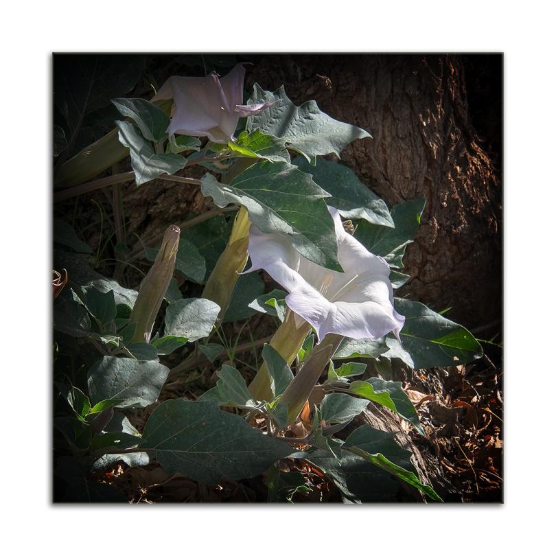Sacred Datura (1 of 1) blog