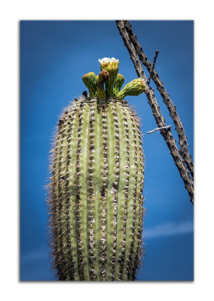 Saguaro Blossom (1 of 1)-2 blog