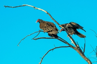 Turkey Vultures (1 of 1)-19 blog