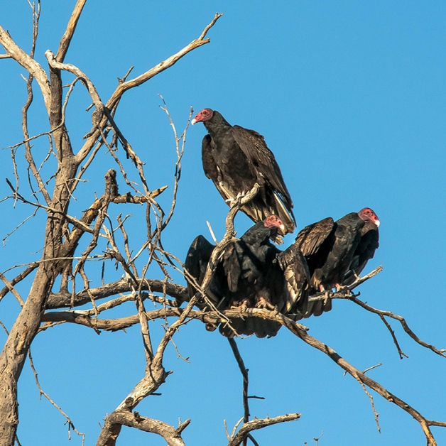 Turkey Vultures (1 of 1)-2 blog