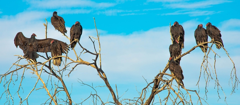 Turkey Vultures (1 of 1)-23 blog