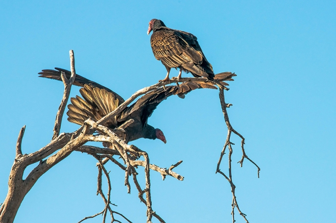 Turkey Vultures (1 of 1)-25 blog