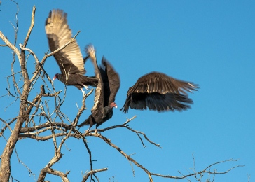 Turkey Vultures (1 of 1)-3 blog