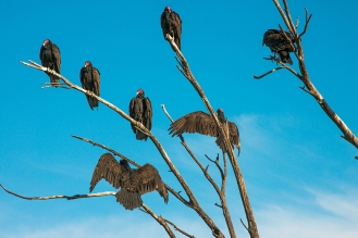 Turkey Vultures (1 of 1)-33 blog