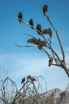 Turkey Vultures (1 of 1)-45 blog