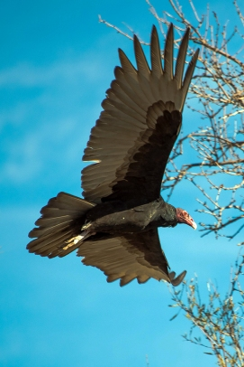 Turkey Vultures (1 of 1)-61 blog