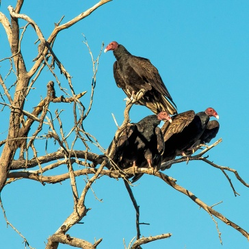 Turkey Vultures (1 of 1)-7 blog