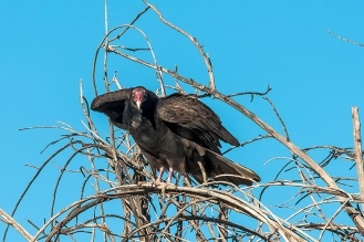 Turkey Vultures (1 of 1)-77 blog