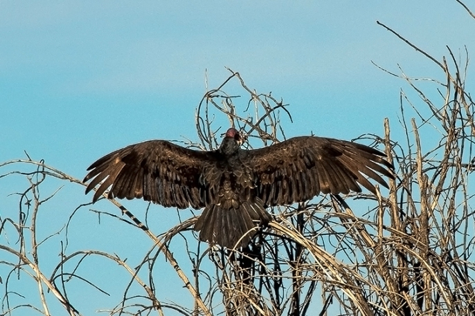 Turkey Vultures (1 of 1)-8 blog