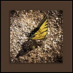 Two-tailed Swallowtail (1 of 1)-2blog