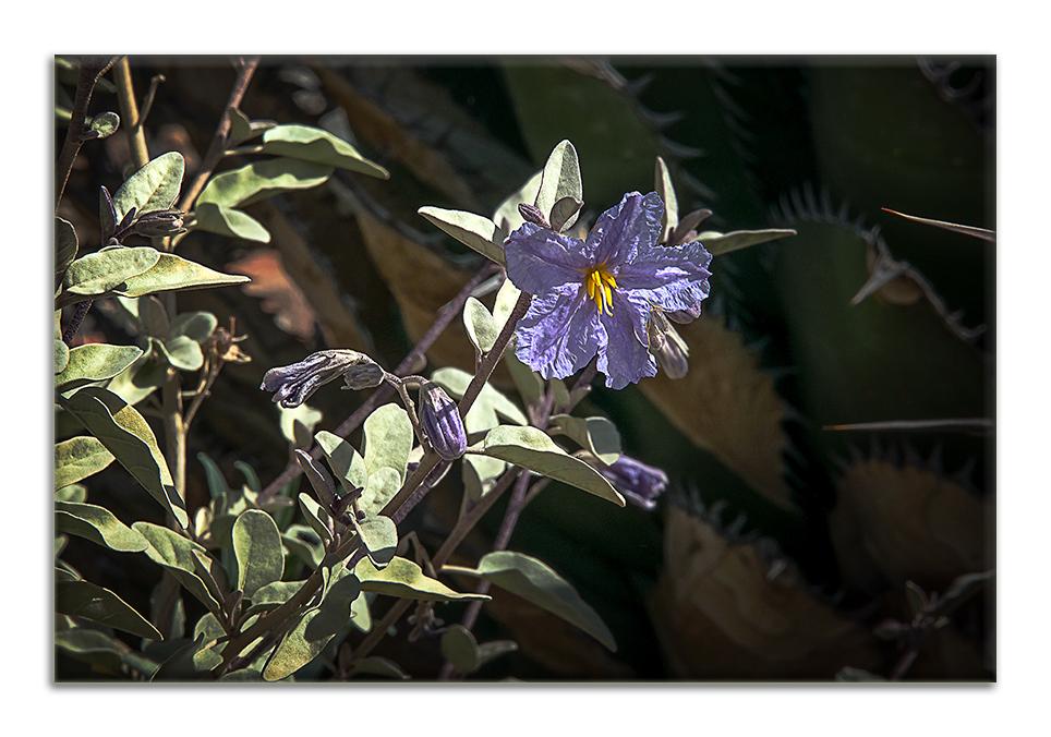Wildflowers-9855 Silverleaf Nightshade blog