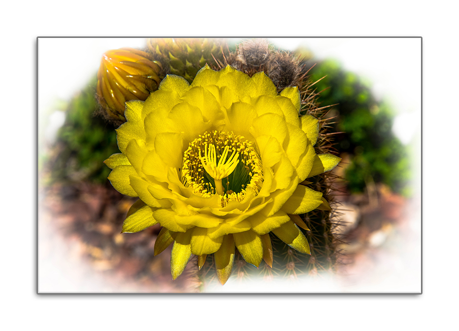 Yellow Cactus Flower March 2014 (1 of 1)-2 blog