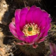 Hedgehog Blossom