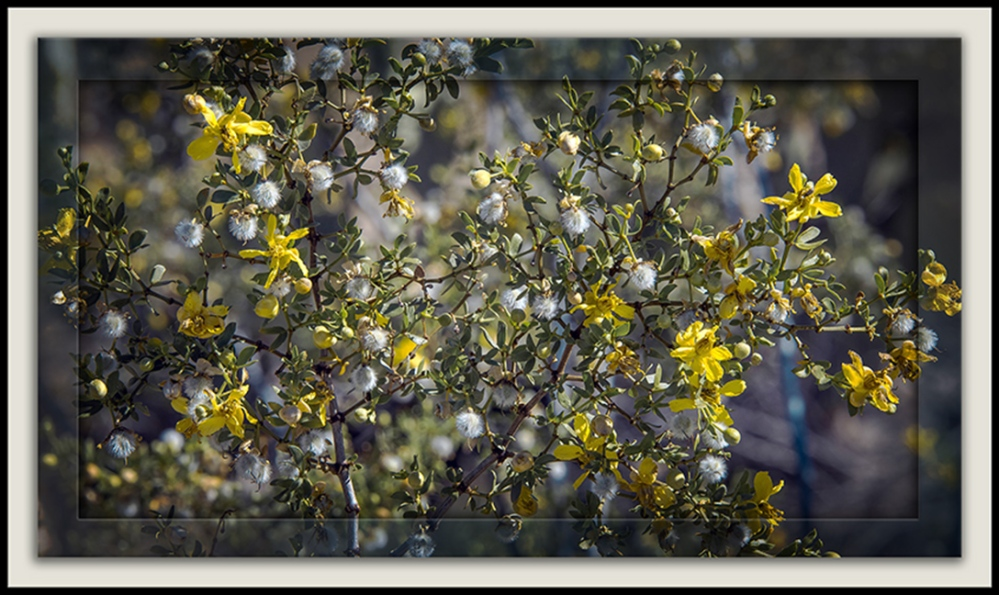 creosote bush (1 of 1) framed blog
