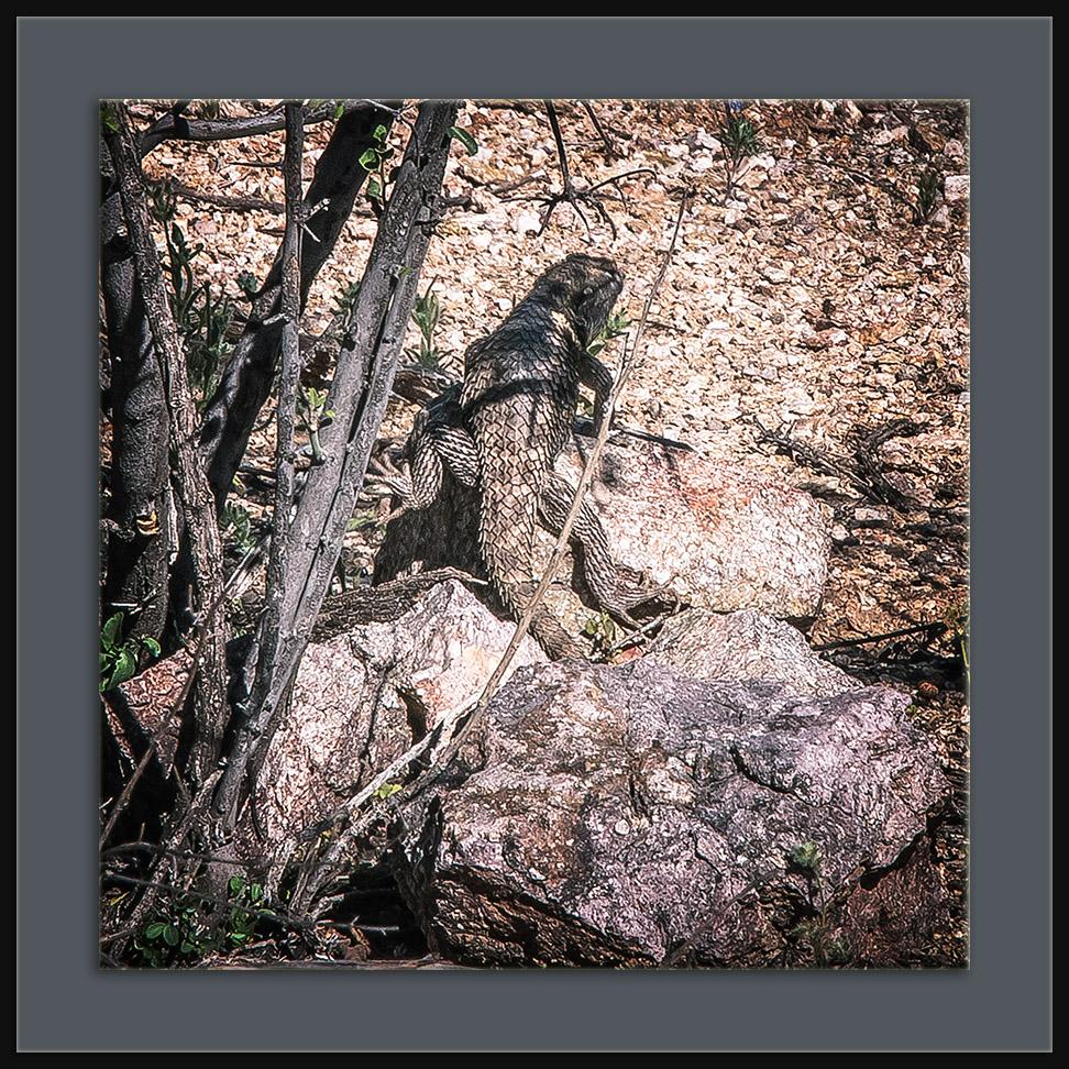 Desert Spiny Lizard (1 of 1) blog framed