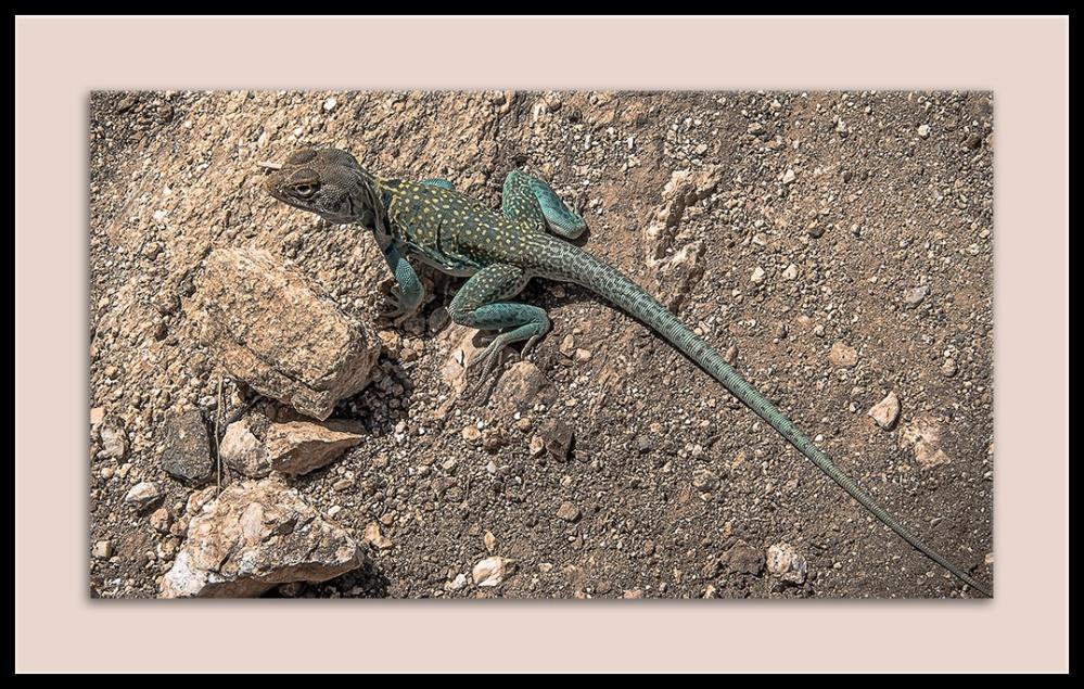 Eastern Collard Lizard (1 of 1)-2 blog