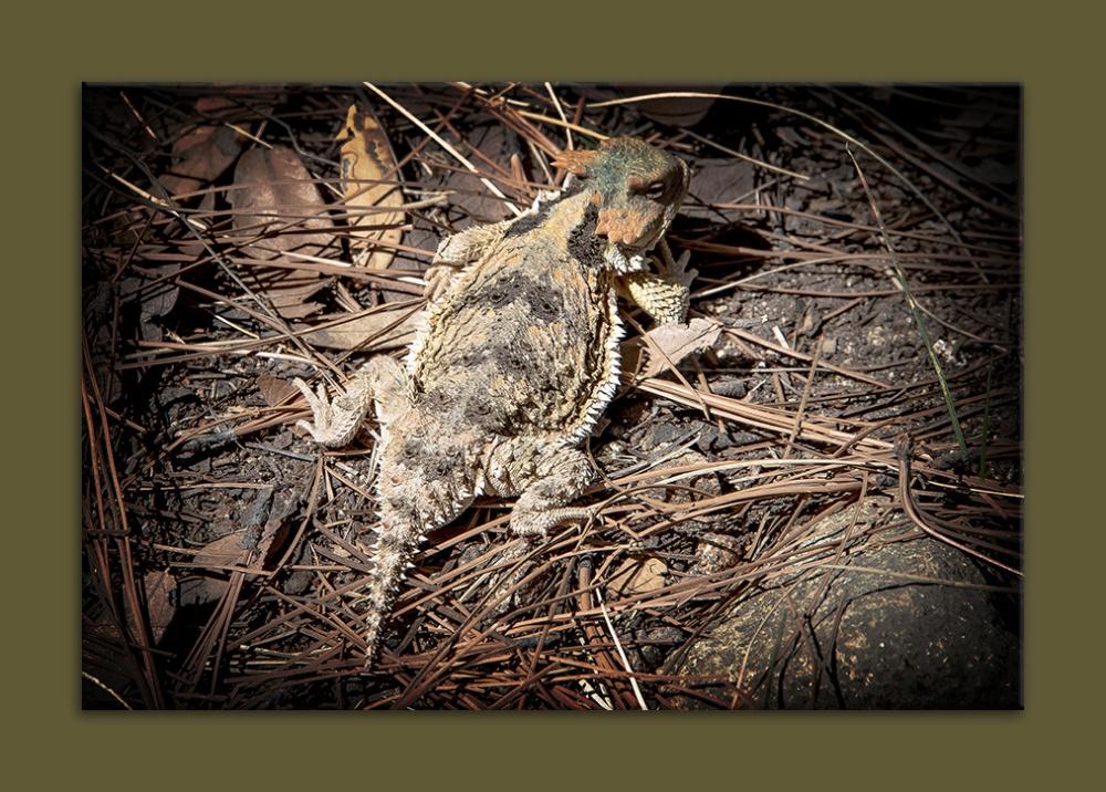 Horned Lizard (1 of 1)-2 blog framed