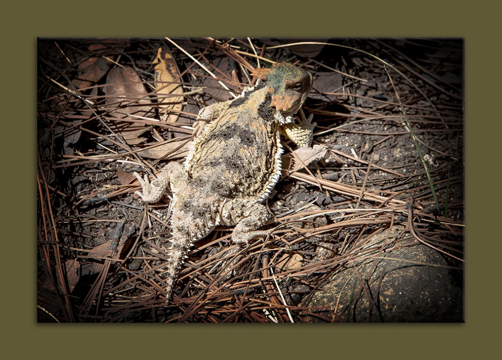 Horned Lizard (1 of 1)-2 blog framed