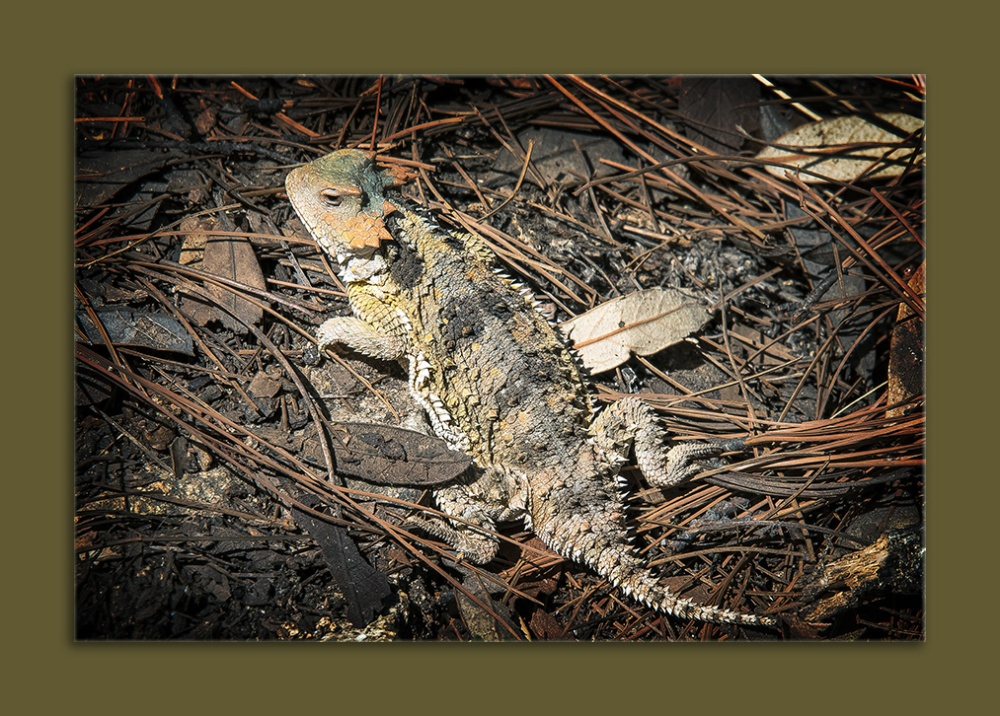 Horned Lizard (1 of 1) blog framed