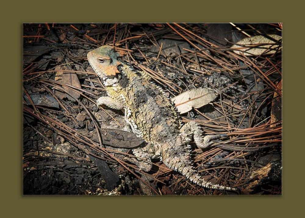 Horned Lizard (1 of 1) blog framed