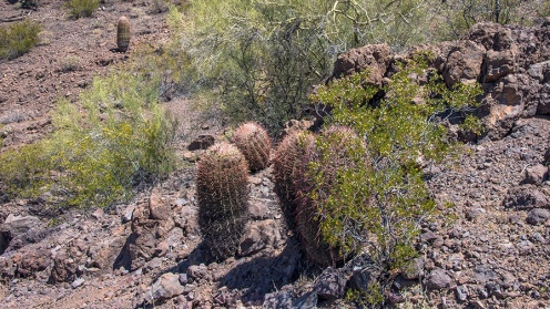 Very Brown Barrel Cactus On The Sunset Trail