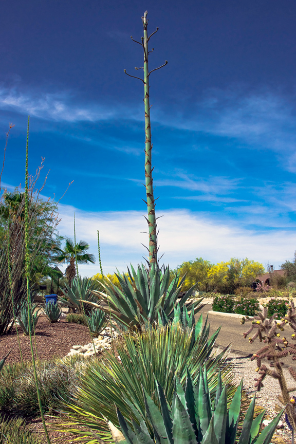 tanuri-ridge-agave-stalk