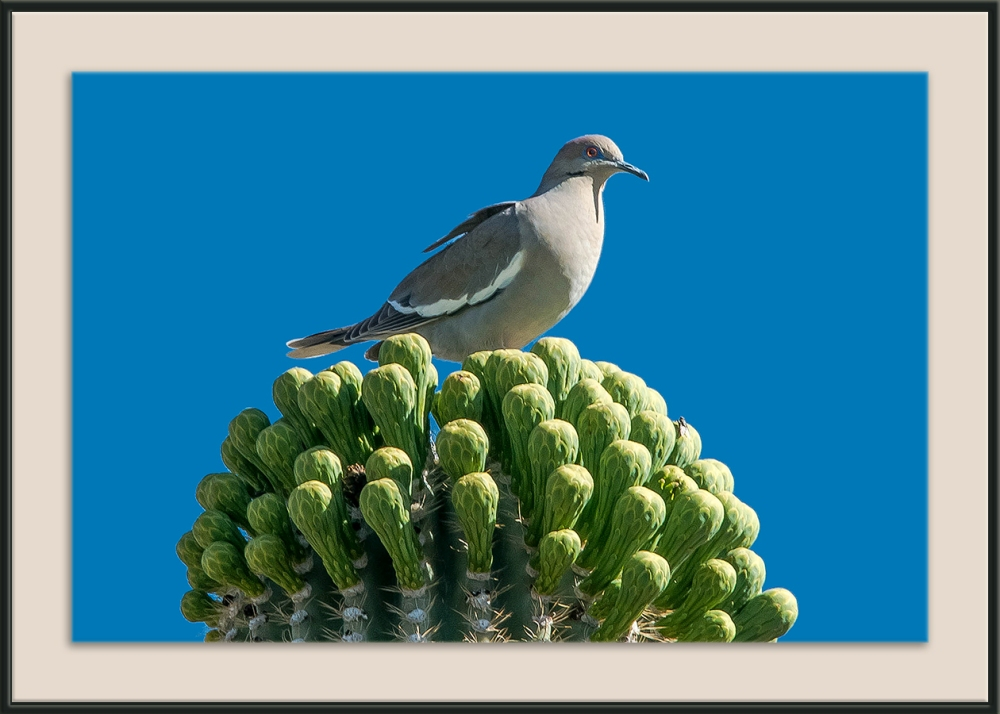 Whitewing Dove (1 of 1) Nest of Saguaro Blossoms blog framed