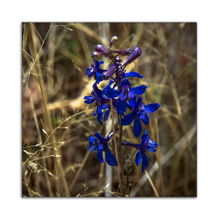 Wildflower (1 of 1)-2 b framed