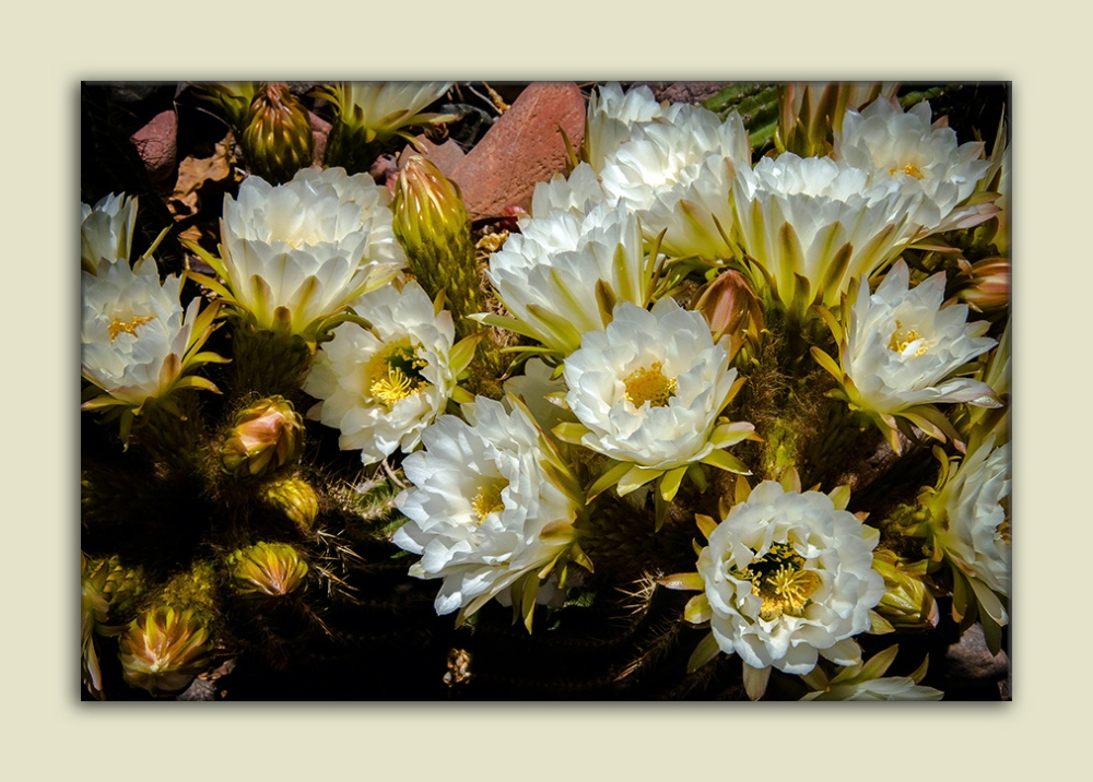 Cactus Flowers (1 of 1)-3 blog framed