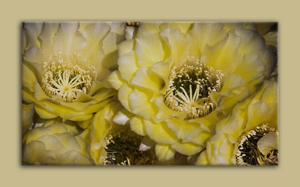Cactus Flowers (1 of 1) blog framed
