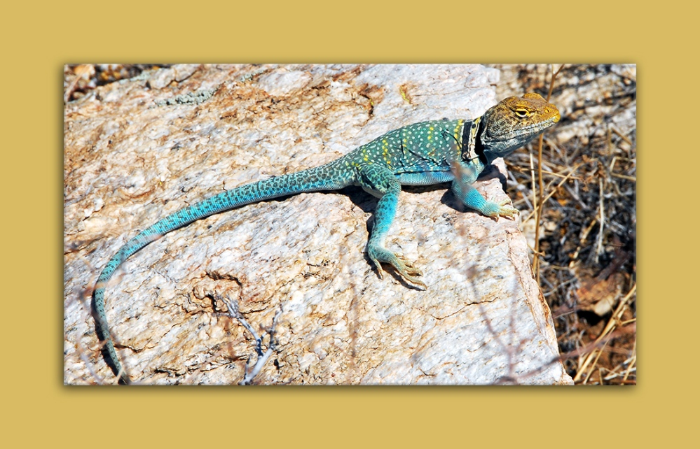 Eastern Collard Lizard  13028 blog framed