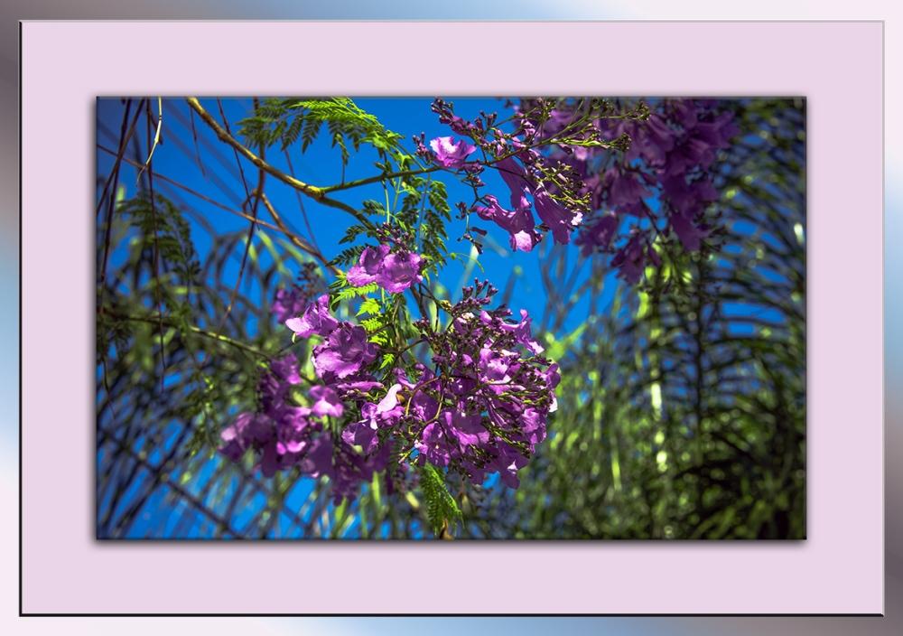 Jacaranda Tree Blossoms blog