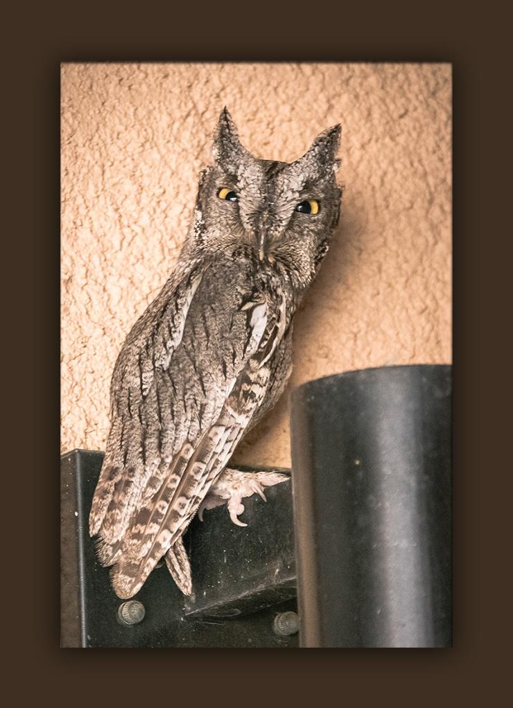 Great Horned Owl (1 of 1)-3 blog