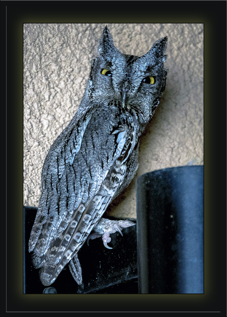 Western Screech Owl (1 of 1) blog
