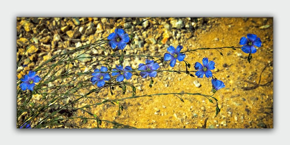 Wildflowers (1 of 1) Blue Flax-2 blog