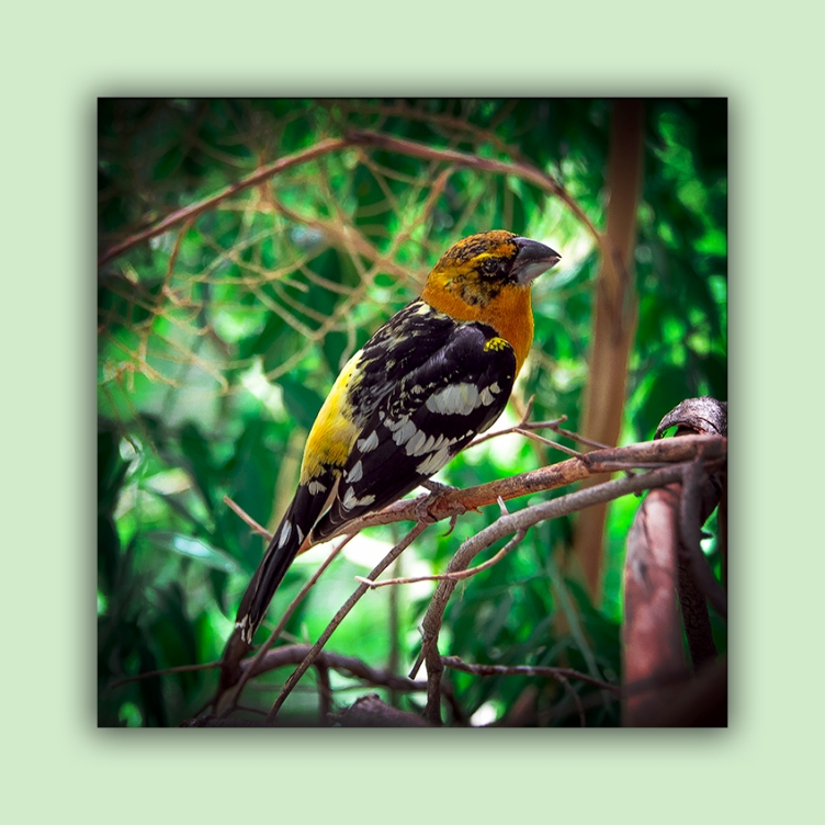 Black-headed Grosbeak (1 of 1) blog framed