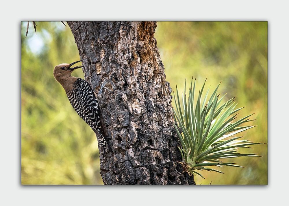 Desert Museum (1 of 1)-4 gila woodpecker blog