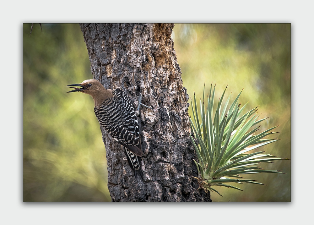 Desert Museum Gila Woodpecker (1 of 1) gila woodpecker blog