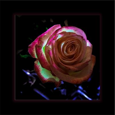 Rose (1 of 1) framed blog