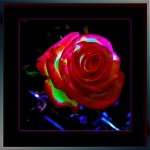Rose (1 of 1) framed IIblog