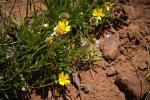 Utah Wildflowers (1 of 1)blog