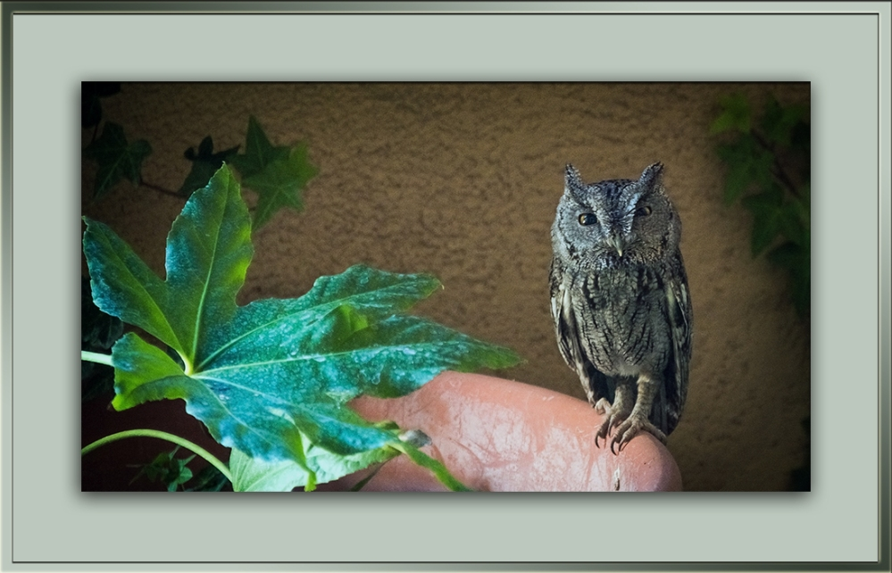 Western or Whiskered Owl blog