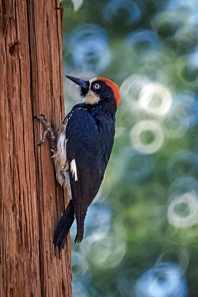 Acorn Woodpecker (1 of 1)-3 blog