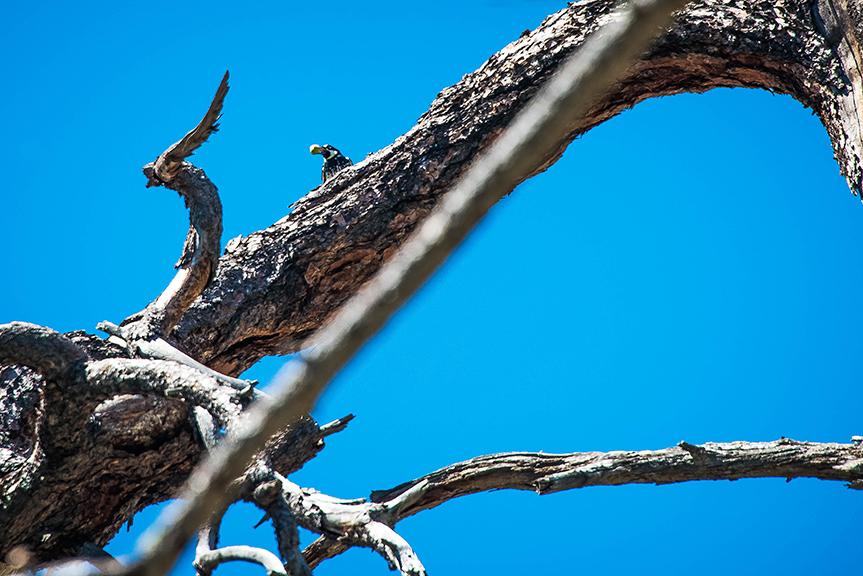 Acorn Woodpecker (1 of 1) blog