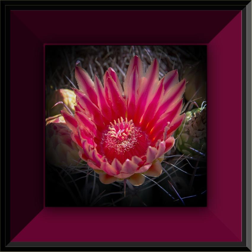 Bear Cactus Bloosom (1 of 1) blog