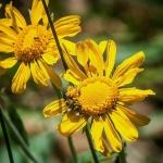 Bee on Sneezeweed (1 of 1)blog