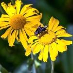 Carpenter Bee on Sneezeweed (1 of 1)blog