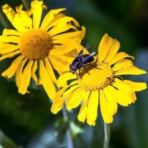Carpenter bee on sneezeweed