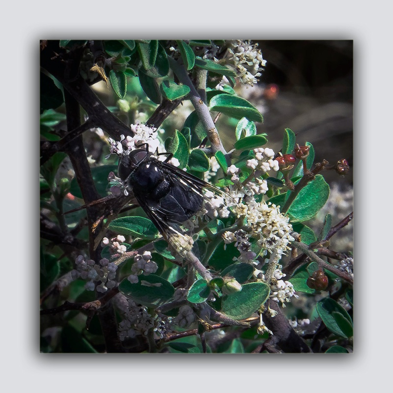 Carpenter Bee (1 of 1) blog
